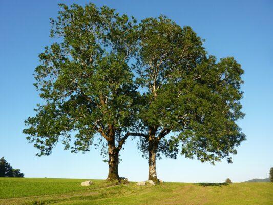 Emerald ash borer - Tree