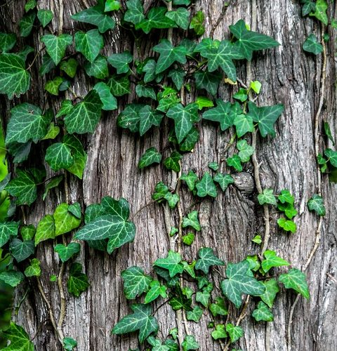 Should I Remove The Ivy Growing On My Tree?