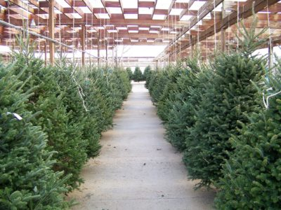 St. Louis Christmas Trees