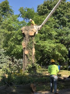 Large Tree Removal St Charles Missouri Hansens Tree Service