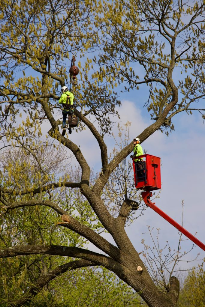 Hansens Tree Service Large Tree Removal