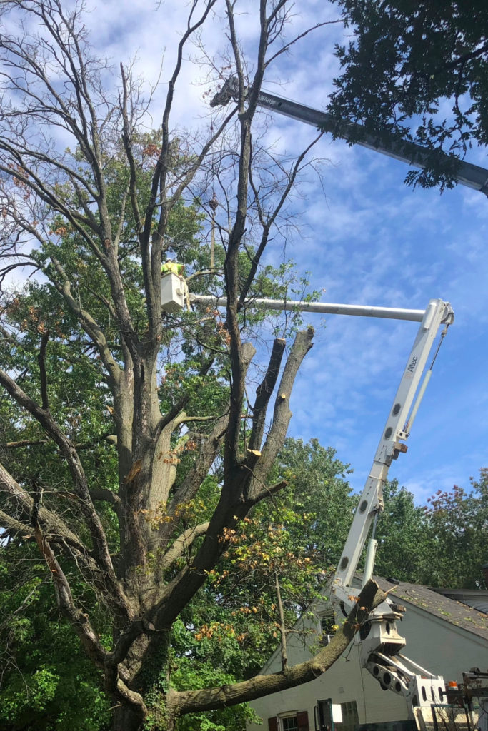 Large Tree Removal St. Charles Missouri