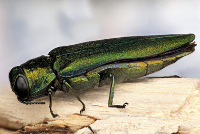 EAB prevention