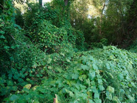 Invasive species - Kudzu
